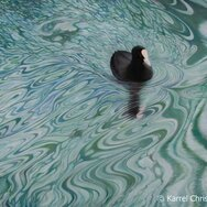 DREAMY WATERS COOT ~~~~SOLD~~~~