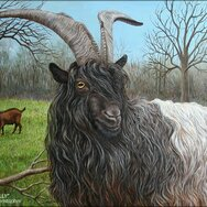 WALLY ~ Wallische Goat Buck ~