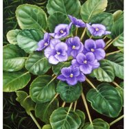 AFRICAN VIOLETS PURPLE
