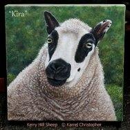 'KIRA' a KERRY HILL SHEEP
